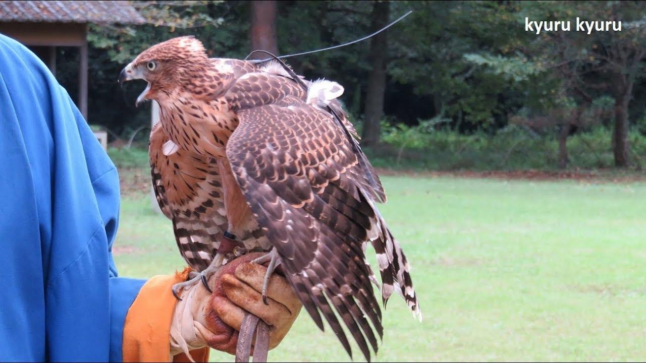 鷹匠の鷹 |falconry#1 | kyuru kyuru - YouTube
