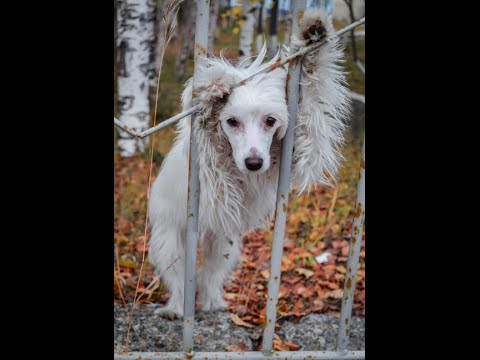 Chinese Crested Vixie. Autumn