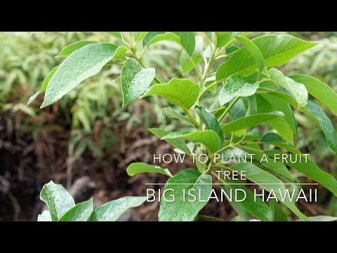 How to Plant a Fruit Tree