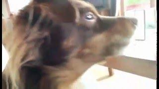 Dog Sings To Old Samsung Ringtone