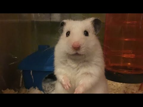 Slideshow Of Fudge My Hamster! /Collab With The World Of 2 House Rats!