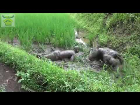Panca Komara [OFFICIAL VIDEO] @Lumping Cisurupan