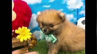 ペットショップ 犬の家 尼崎店 「87618 ポメラニアン」