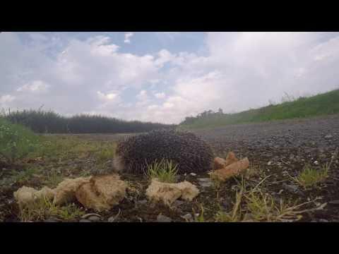 Isle of Man - Hot Hedgehog