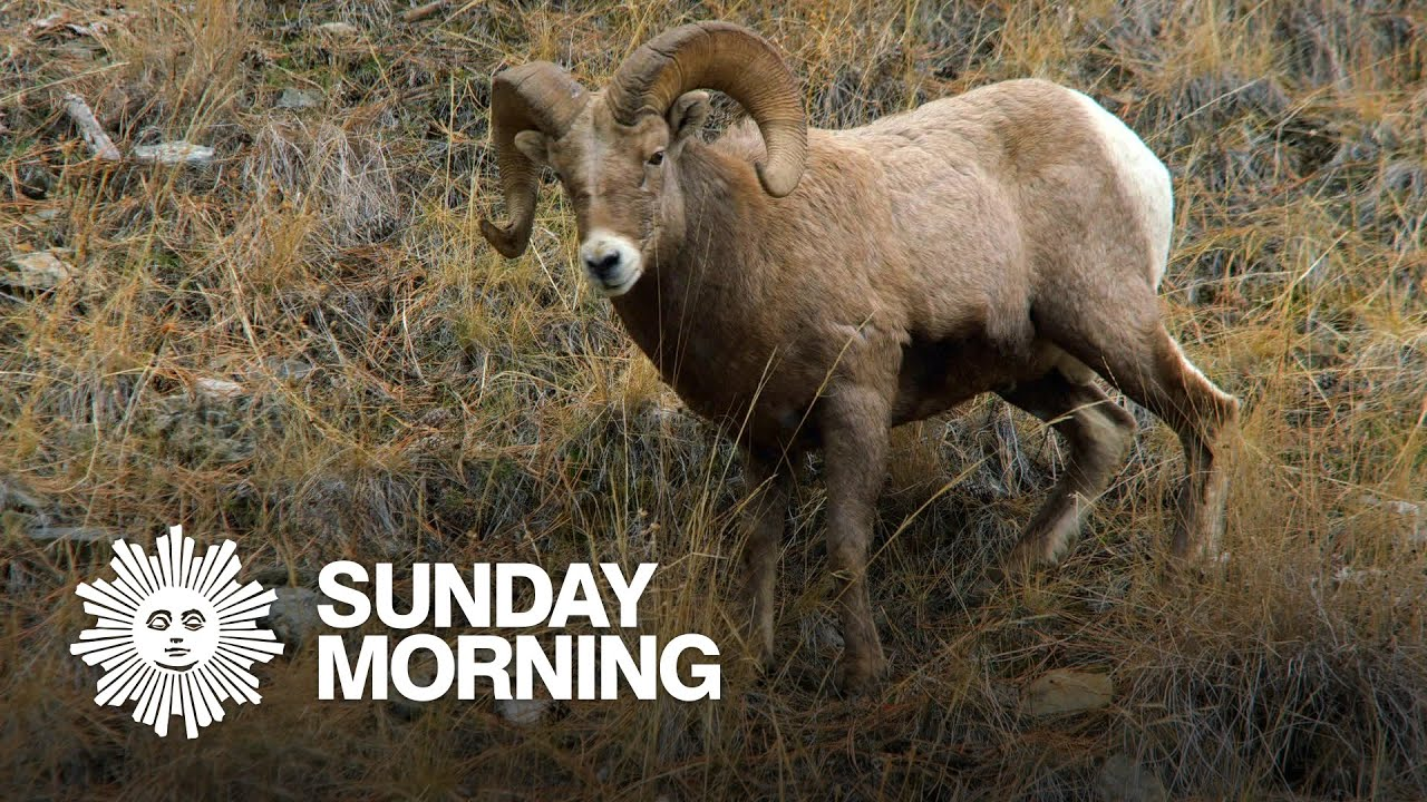 Nature: Big horn sheep in Montana