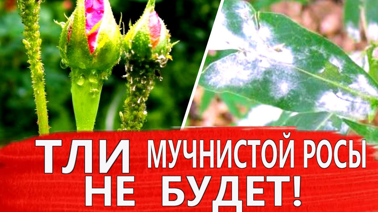 СЕРА СПАСЕТ РОЗЫ и ФЛОКСЫ от ТЛИ и МУЧНИСТОЙ РОСЫ!