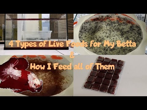 4 Types Of Live Foods For My Betta & How I Feed All Of Them