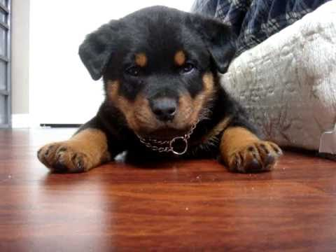 Rottweiler Puppy Being Cute Youtube
