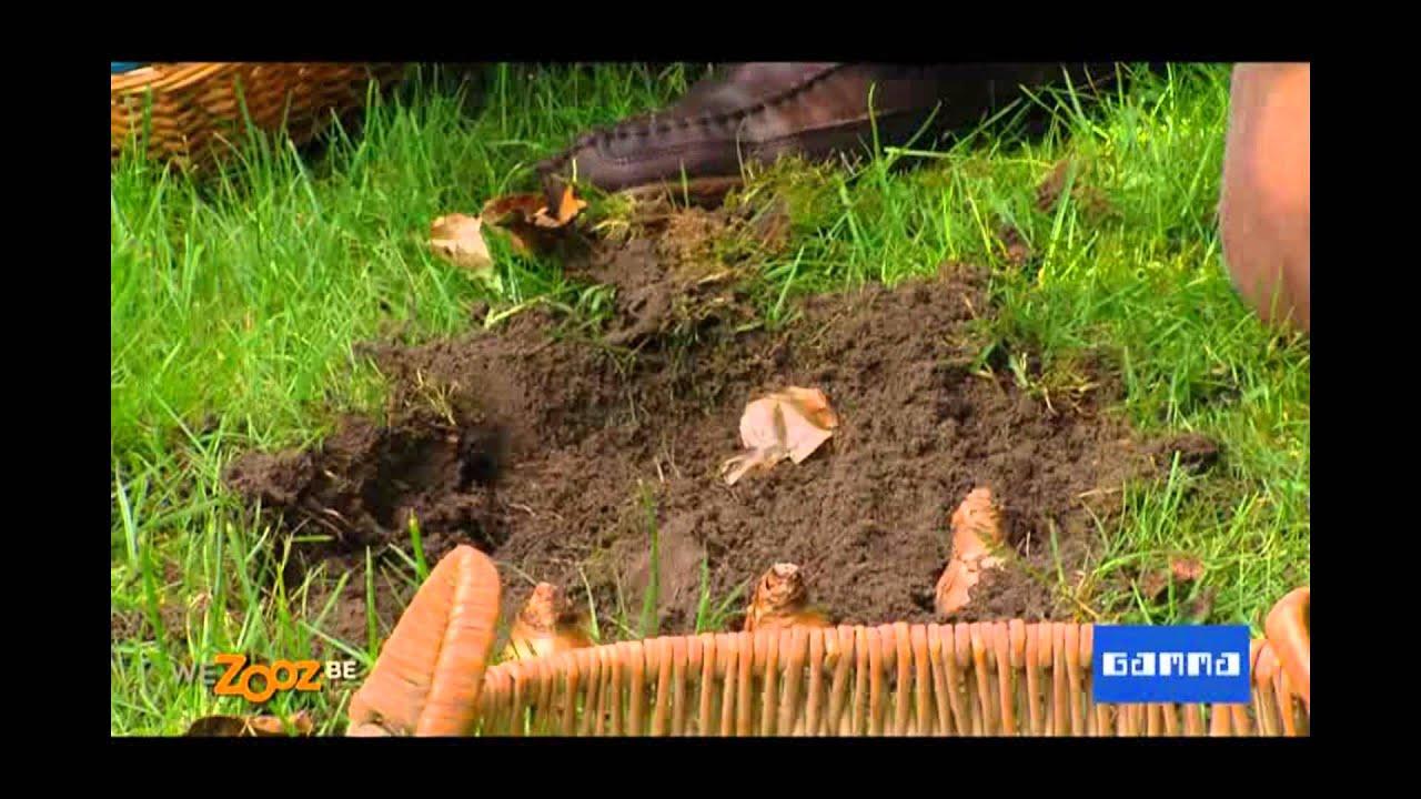 Planter des narcisses dans le gazon - Vidéo jardinage   GAMMA Belgique - YouTube