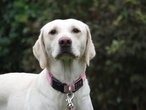 Poppy - Labrador - November Competition Winner - 2 Weeks Residential Dog Training