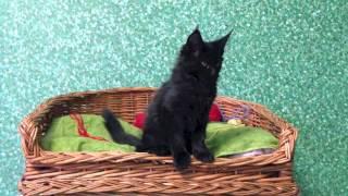 чёрный котёнок мейн - кун