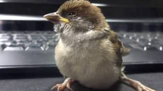 スズメが遊びに来た Sparrow In the house