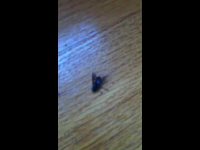 Dead fly lacrosse shot