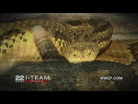 The real costs of a Timber Rattlesnake colony at the Quabbin