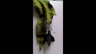 圓翅紫斑蝶羽化.