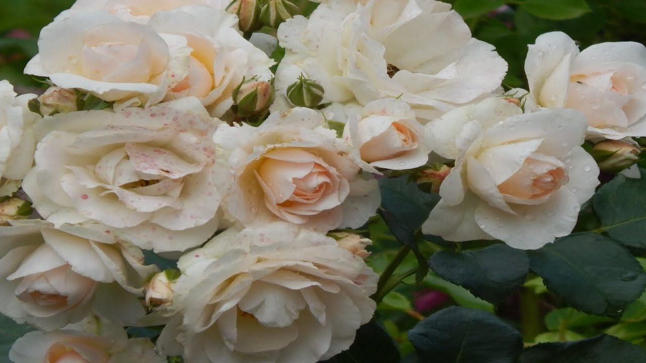 Прогулка.Розы  и хвойные,клематисы  в саду дождливым летом