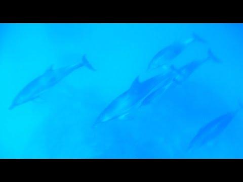 Wild Dolphins! Ogasawara, Tokyo Japan