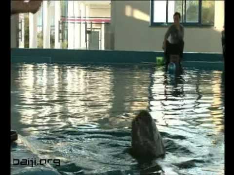 Baiji Expedition 2006 Yangtze finless porpoise in the Aquarium in Wuhan