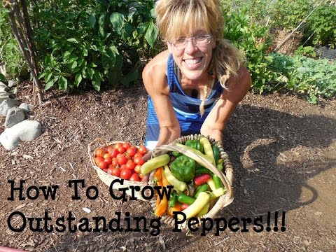 How To Plant Peppers Key Steps To Success Doovi