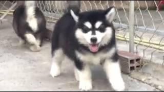 chó alaska tphcm, bán chó alaska, bán chó alaska ở đâu