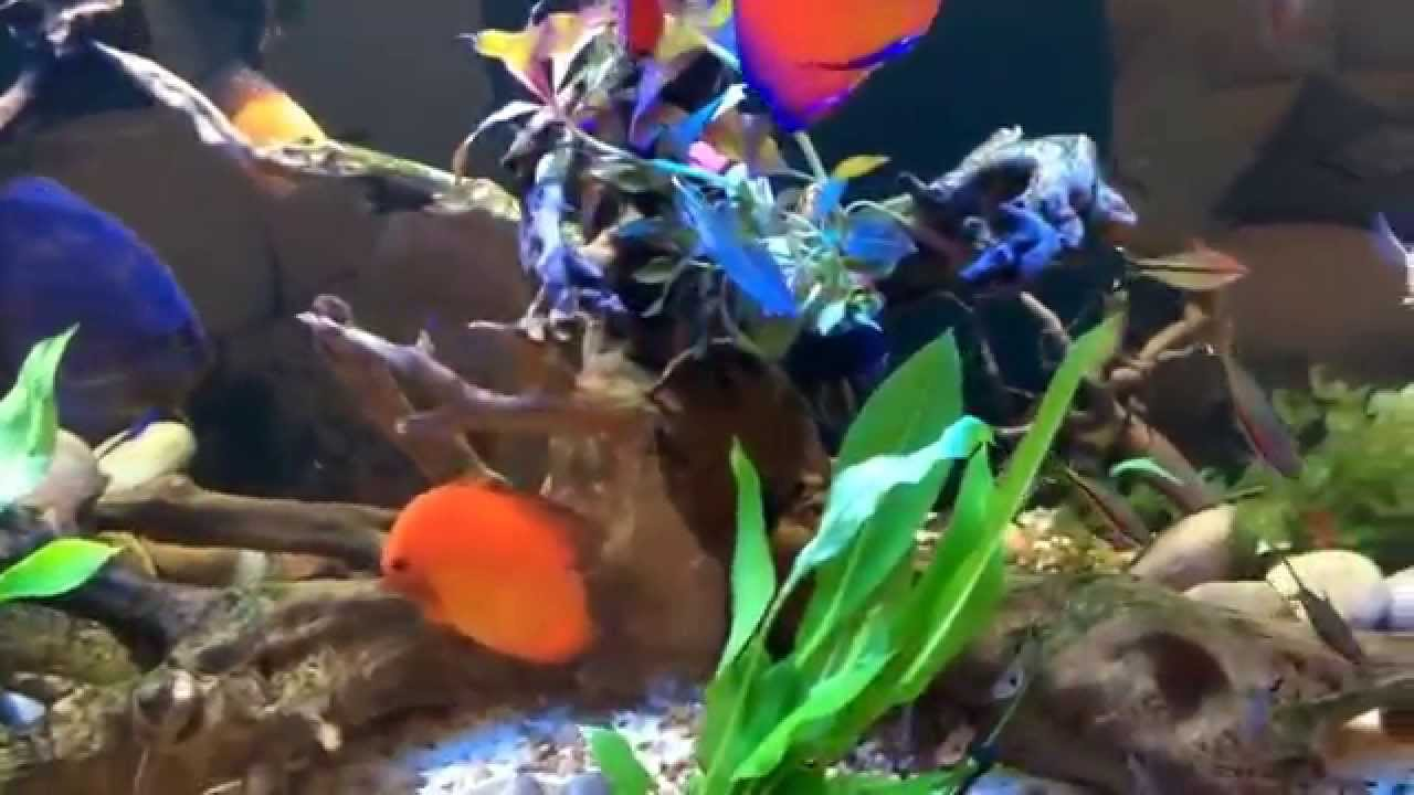 Fish tank real plants - Real Plants Added To The Discus Tank