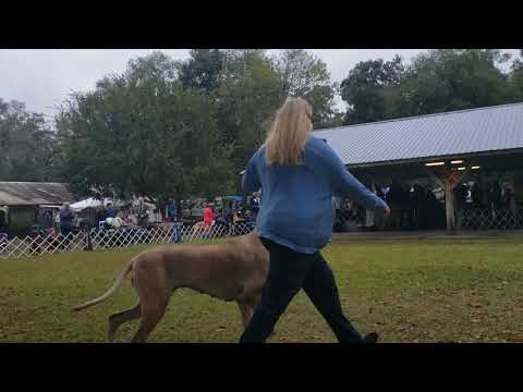 Great Dane Club of North Central Florida Specialty Dog Show 11/16/19 Best of Breed, Veterans