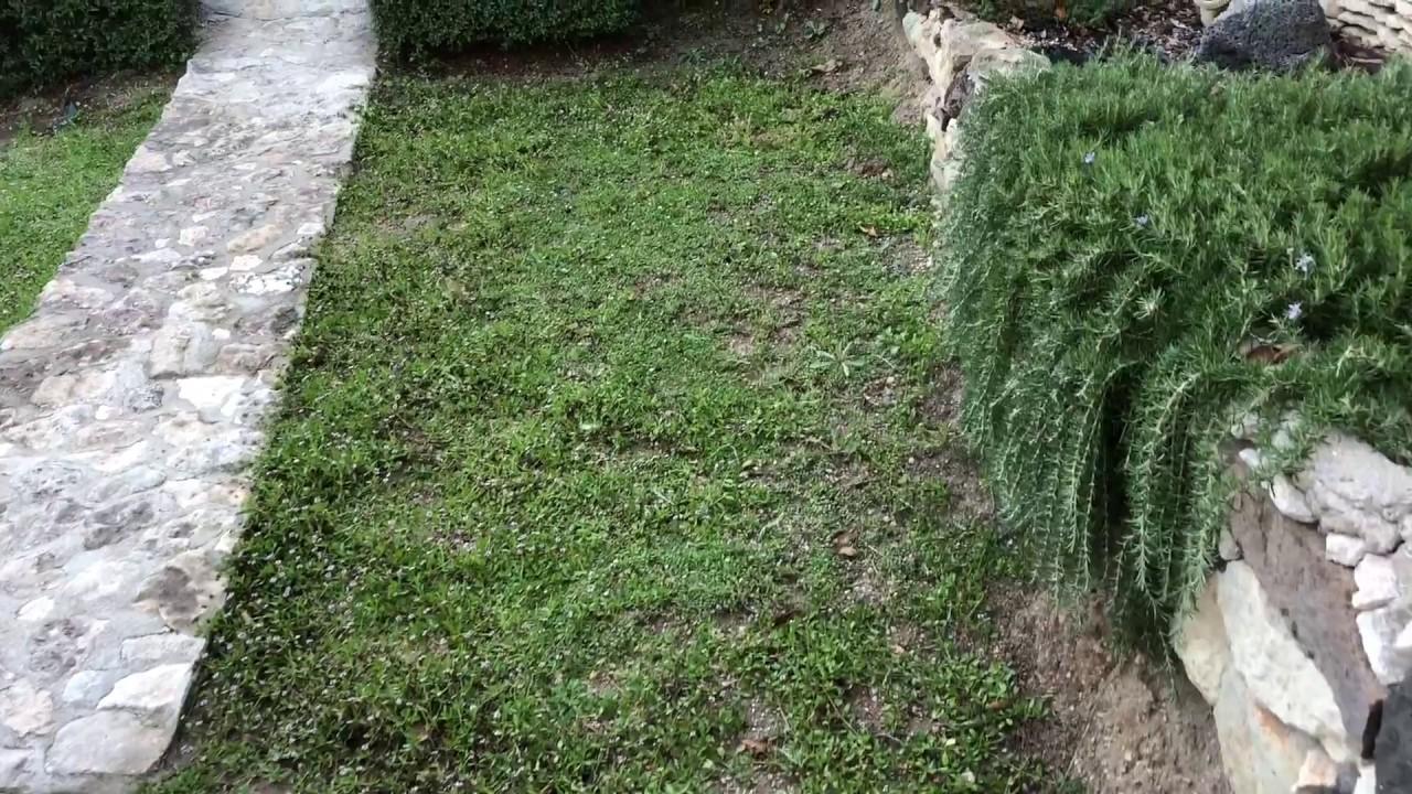 TAPPETO verbene-Lippia nodiflora