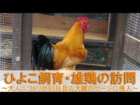 ひよこ飼育58・雄鶏の訪問~大人のニワトリが83日目の大雛のケージに侵入~