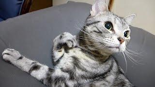 元気よくお返事 鶏ムネ肉のオヤツにがっつく猫