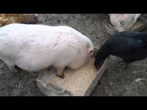 Вьетнамские свиньи стоит ли заниматься? Форум фермеров