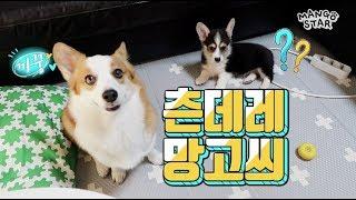 강아지 입양 2일차 - 쎈언니가 동생 다루는법 / 웰시코기 망고베리 / Welsh corgi  Dog adoption