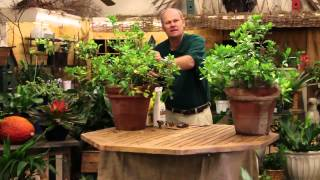 care tips for indoor gardenia plants