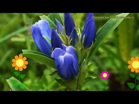 Горечавка трехцветковаяподвид японская. Краткий обзор, описание gentiana triflora var. japonica