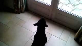 Staffie Staffy Sbt Staffordshire Bull Terrier Ma Dooshca Aboie  Sa Ne Lui Etait Jamais Arrivé