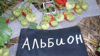 клубника альбион(клубника альбион ремонтантный сорт., 2016-06-29T12:51:55.000Z)
