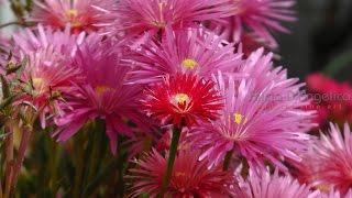 Смотреть клип песни: Demis Roussos - A Flower's All You Need
