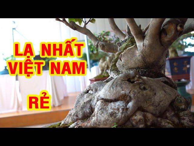 Nhiều thợ cây thốt lên từ bé đến giờ chưa gặp cây nào như thế này, giá tiền ntn, bonsai trees