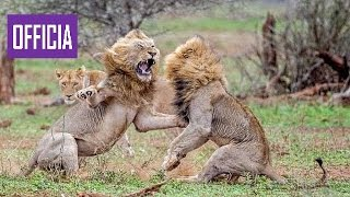 Необычное поведение животных — Жизнь на воле (Nat Geo Wild HD)  борьба диких животных