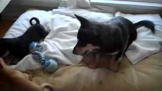 Corgi/lab Mix Puppies.mov