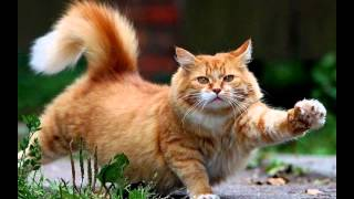 Эгейская кошка (Aegean cat) породы кошек( Slide show)!