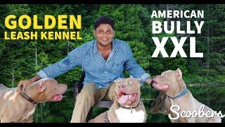 American Bully XXL | Golden Leash Kennel | Sunline American Bullies | Am Bullies XXL | Scoobers