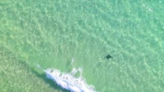 Devil Rays off the Emerald Coast of Florida