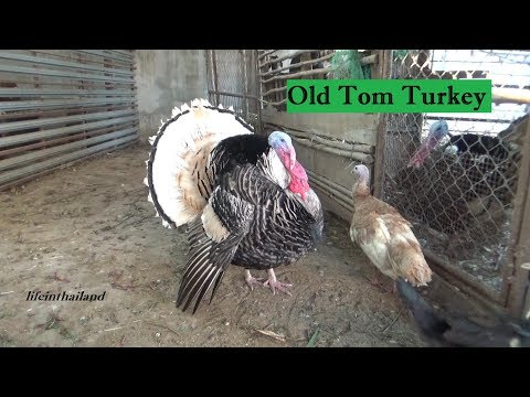 Old Tom Turkey, The boss of the barn once again.