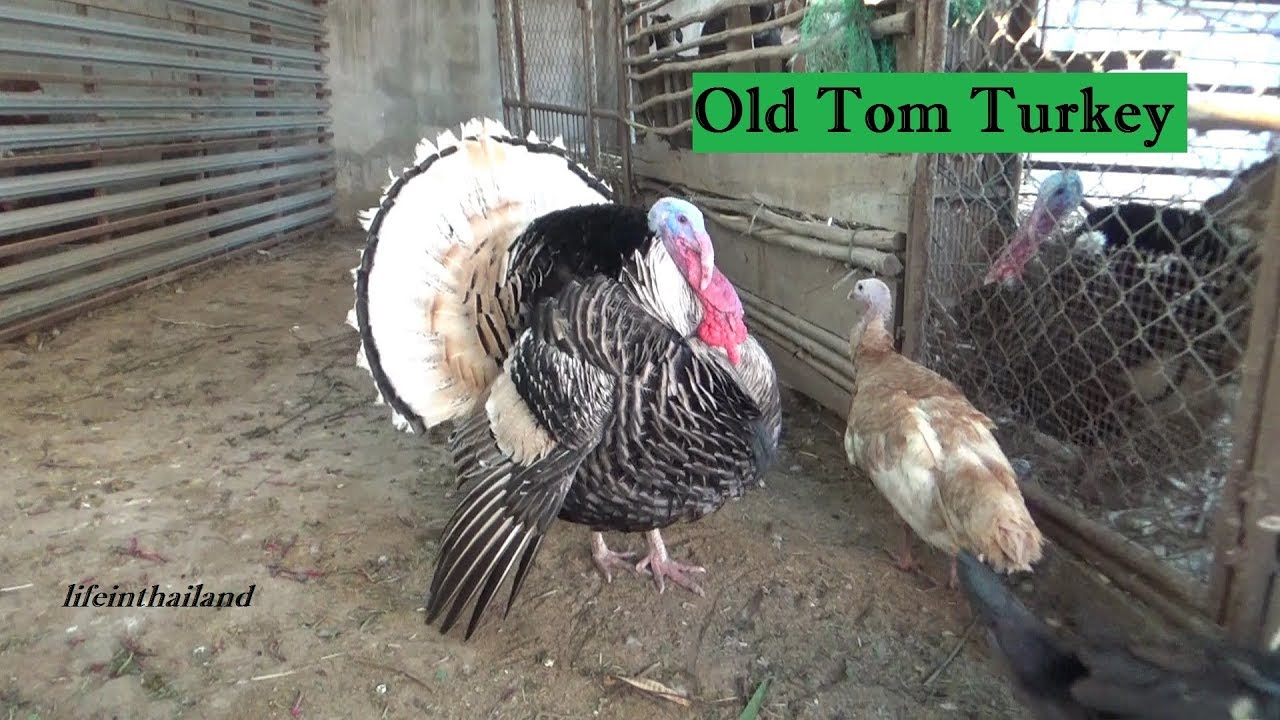 old tom turkey the boss of the barn once again youtube