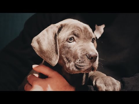 cane-corso-puppy!-training-puppies-is-not-easy!