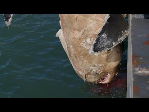 Pulling Up a White Shark in an Illegal Gill Net