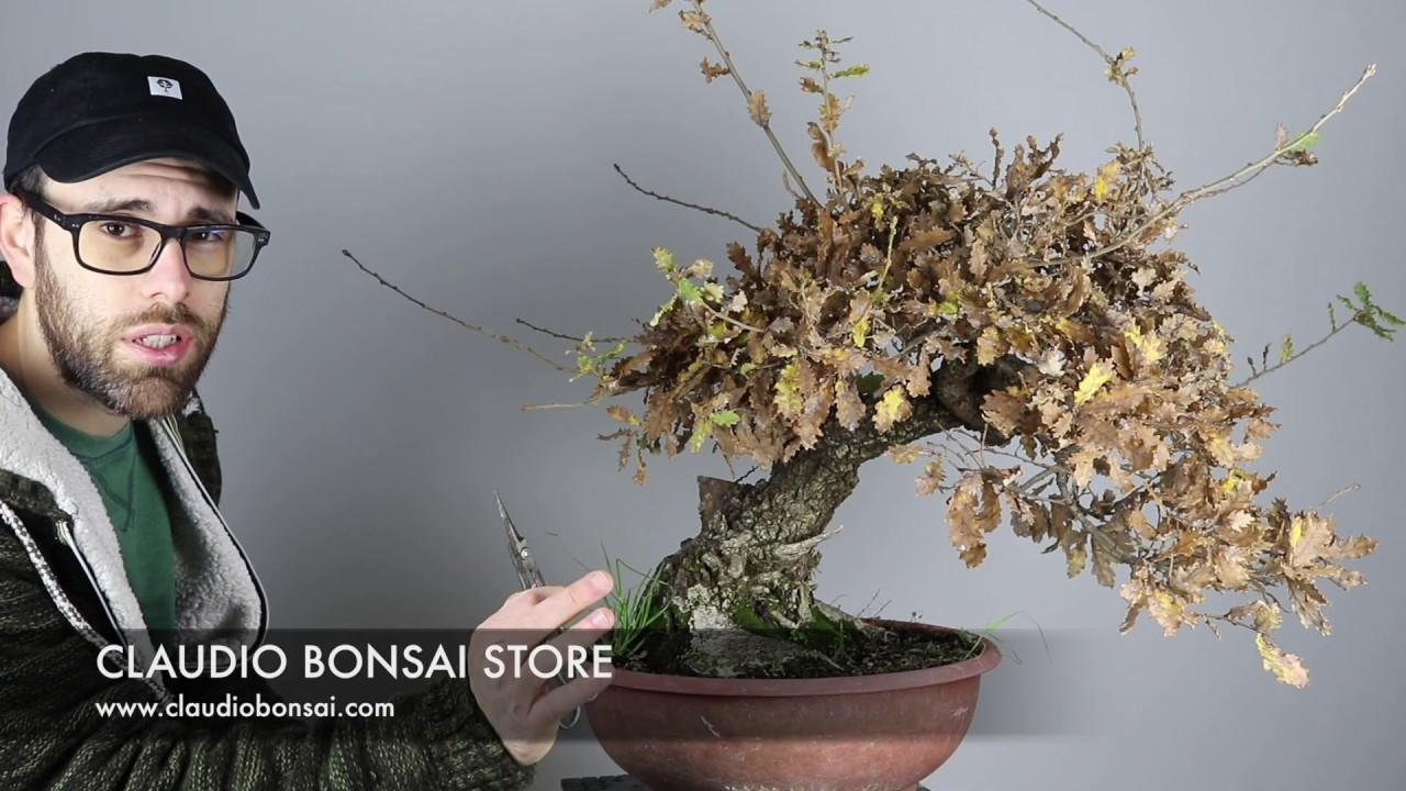 Periodo Migliore Per Potare Quercia come potare un bonsai di quercia