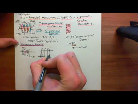 The Wnt / Beta Catenin Pathway Part 1