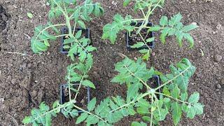Томаты завалят плодами! Сажаем четыре томата в одну лунку
