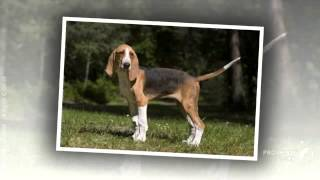 French Tricolor Hound Dog breed.